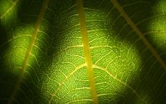 Fig Tree Leaf (Selqet) Tags: macro nature leaf nikon july natura coolpix foglia figtree 2010 fico l20 ficuscarica commonfig ficocomune selqet