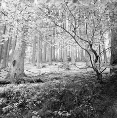 (case-ie) Tags: trees 6x6 film nature forest mediumformat blackwhite