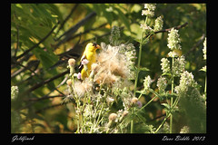 Goldfinch (littlebiddle) Tags: nature animals canon framed wildlife 300mm 7d
