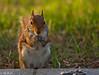 Squirrel (m_hamad) Tags: nature animal canon rodent dc washington squirrel wildlife sciuridae supershot sciurus 60d canon60d ultimateshot blinkagain escurel