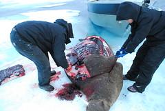 Walrus Hunt 8_5_13 1 358 (efusco) Tags: ocean sea ice alaska native arctic butcher hunter beaufort walrus hunt midnightsun iceburg floe inupiat inupiaq aivik femalewalrushunt85131