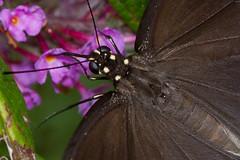 Black Swallowtail Butterfly (~Jane) Tags: flowers butterfly insect butterflies bugs nectar butterflybush blackswallowtail