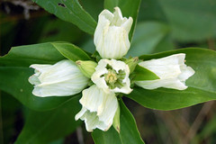Cream Gentian (pchgorman) Tags: flowers wisconsin august prairies gentiana gentianaceae danecounty gentianaalba creamgentian pleasantvalleyconservancy taxonomy:binomial=gentianaalba