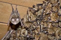 Murcielagos (B.Seara) Tags: spain bat galicia murcielago morcego mamal mamifero brais braisseara bseara