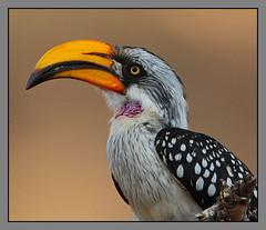 Eastern Yellow-billed Hornbill male (Rainbirder) Tags: kenya samburu easternyellowbilledhornbill tockusflavirostris coth5 northernyellowbilledhornbill rainbirder