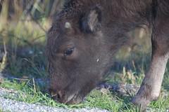 Bison calf (Sunshynest8) Tags: nature mammal buffalo wildlife wyoming grandtetons teton calf bison sunshynest8 sunshynestate