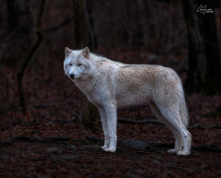 White Wolf ~ HDR