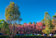camping with Cherry Blossom Garden (Kwanchai_K) Tags: road park trip travel pink winter wild sky house mountain holiday plant cold flower color macro tree green art leave tourism nature floral grass japan garden season cherry landscape thailand outdoors japanese spring flora colorful natural path vivid tent fresh bark romantic sakura chiangmai warming pathway springtime global thaisakura ซากุระ นางพญาเสือโคร่ง khunmaeya khunchangkian thailandsakura queentigerflower