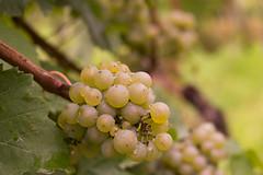 wine grapes (JillchenB) Tags: food germany deutschland vineyard europa europe wine grapes allemagne grape wein weinrebe weinblatt weinberge weintraube weinbltter
