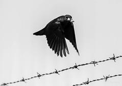 Mouths to Feed (Attic Light) Tags: blackandwhite bird female wings flight feathers barbedwire brewersblackbird feedingthenest