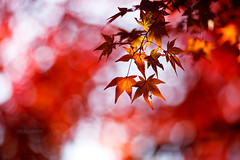 Red Leaves in Japan  (Ilko Allexandroff (a.k.a. sir_sky)) Tags: autumn red leaves japan bokeh       vision:text=0503