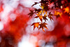 Red Leaves in Japan 紅葉 (Ilko Allexandroff / イルコ・光の魔術師) Tags: autumn red leaves japan bokeh 日本 紅葉 秋 もみじ 赤い ボケ