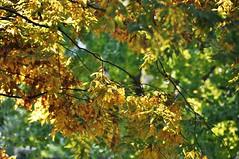 Leaves (Isabelita ~Singlemom Busy on or off :)) Tags: work housework autumn2013 themommieshobby