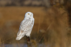 snowy owl. (StephsShoes) Tags: bird connecticut wildlife newengland ct longbeach owl stratford birdofprey snowyowl