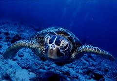 green turtles (ikumi s) Tags: blue sea fish nature water japan canon wildlife wide okinawa teiephoto underwatrephotography