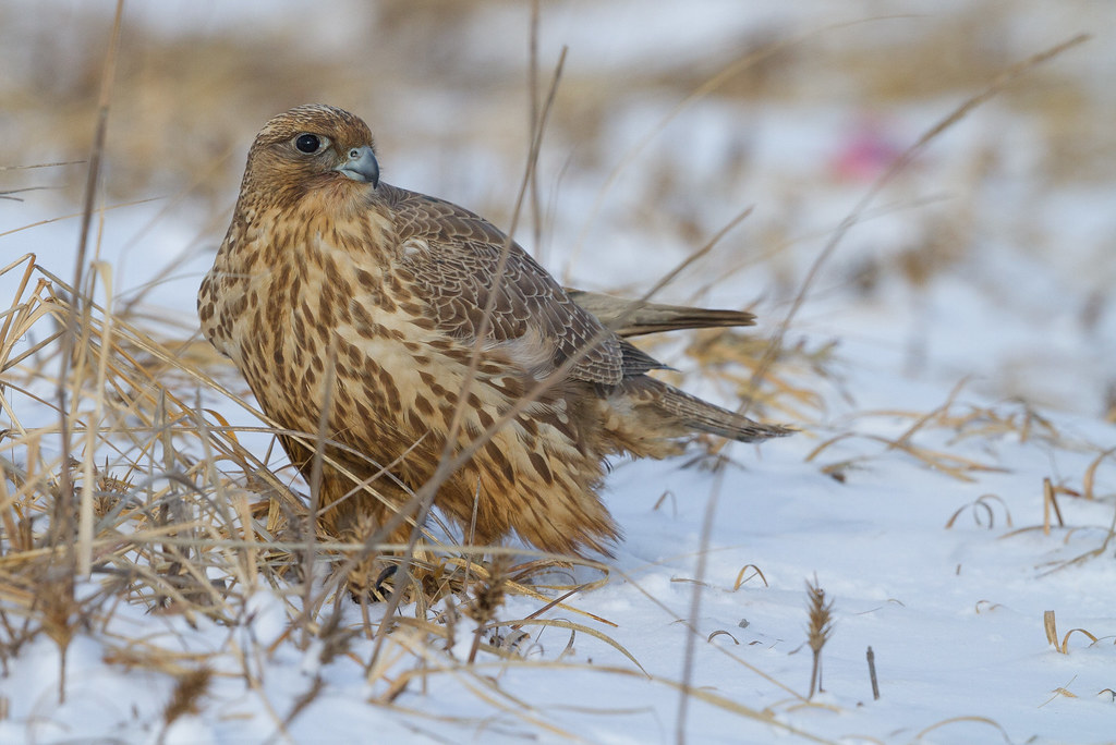 Gyr again - The well known Gyrfalcon to the northeast of Hakodate.