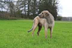 Irish Wolfhound (EmilyRedivo_phoDOGraphy) Tags: trees portrait irish dog water field forest grey jumping wasser day cloudy tag feld grau running hund gras wald biggest regenbogen wolfhound acker riesen rennend springend wolfshund irisher woliger