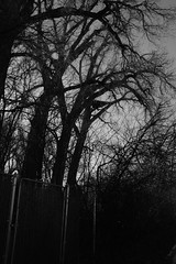 The Troubles of Towering Trees (Miss Marisa Renee) Tags: trees winter blackandwhite nature monochrome vertical digital canon fence outdoors bush alley gate colorado afternoon branches january busy alleyway troubles greyscale 2014 canon400d marisarenee