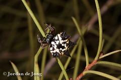 Australian Jewel Spider, Austracantha minax-2.jpg (Jordan de Jong) Tags: nature animal fauna spider flickr wildlife arachnid australia jordan invertebrate dejong minibeast araneidae jewelspider austracanthaminax austracantha