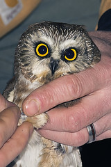 Saw-whet Owl, Bainbridge Island (Digital Biology) Tags: washington unitedstates bainbridgeisland afilador sawwhet acadicusnorthern taxonomy:kingdom=animaliaanimaliataxonomyphylumchordatachordatataxonomyclassavesavestaxonomyorderstrigiformesstrigiformestaxonomyfamilystrigidaestrigidaetaxonomygenusaegoliusaegoliustaxonomyspeciesacadicustaxonomybinomialaegoliu acadicusnswoaegolius owlpetite nyctaletecolote afiladortaxonomycommonnswotaxonomycommonnorthern owltaxonomycommonpetite nyctaletaxonomycommontecolote