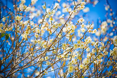 GTJ-20140120-9 (goteamjosh) Tags: mountains taiwan sakura cherryblossoms   taoyuan  plumblossoms  fuhsing