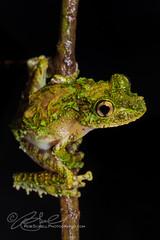 Spinomantis aglavei (Rob Schell Photography) Tags: africa frog madagascar andasibe anuran iucnleastconcern spinomantisaglavei vision:sky=0528 vision:plant=07 vision:outdoor=0691 vision:dark=0589 mantillidae mantillinae