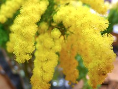 Mimosa:含羞草 (love_child_kyoto) Tags: flower spring yellowflower loveit mimosa available mimos internationalwomensday march8 festadelladonna ミモザ masterphotos becrux artisticflowers takenwithlove lovelyflickr マスター写真 leicadlux5 ライカdlux5 lovelynewflickr オジギソウ。 nimose