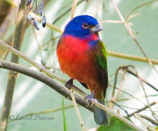 I'll miss the Painted Buntings