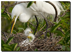 The first two.. (jeannie'spix) Tags: march nest m14 march14 whiteheron wakodahatchee