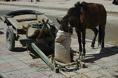 long nose-bag (cam17) Tags: tibet feedbag nosebag horseandwagon brownhorse guyantzetibet guyantze juryriggedfeedbag juryriggednosebag