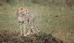 Duma (matthewdaugherty@yahoo.com) Tags: africa cats animals tanzania wildlife spot cheetah serengeti predator hunt duma