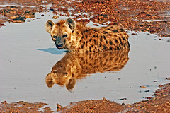 Reflecting on Another Time !! (Picture Taker 2) Tags: africa wild reflection kilimanjaro nature water animal closeup native wildlife curious unusual wilderness upclose amboseli wildanimals hyaena naturesfinest africaanimals animalkingdomelite anawesomeshot naturewatcher