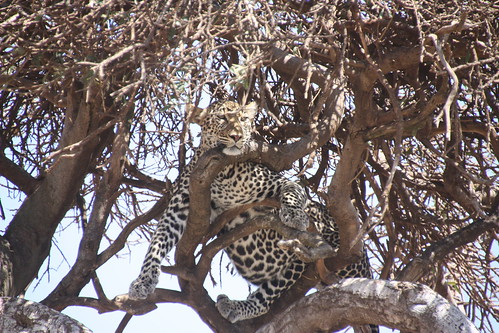 Leopard resting on the top of a tree