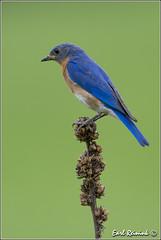 One fine perch (Earl Reinink) Tags: blue ontario canada nature nikon flickr niagara perch earl bluebird easternbluebird dunnville earlreinink reinink adtaiuodha