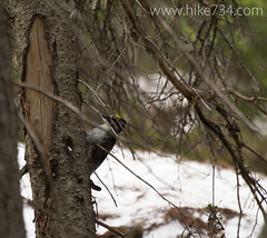 """Three-toed Woodpecker • <a style=""""font-size:0.8em;"""" href=""""http://www.flickr.com/photos/63501323@N07/14127639259/"""" target=""""_blank"""">View on Flickr</a>"""