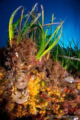 vida en el azul profundo (II) (Jaime Franch) Tags: diving esponja formentera buceo baleares posidoniaoceanica puntagavina chondrosiareniformis tokinaatx107dxfisheyeaf1017mmf3545 mediterraneo esponjadecuero visemanafotografiasubmarinaformentera