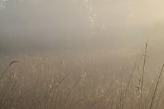 im Ostermoor; Norderstapel, Stapelholm (42) (Chironius) Tags: morning fog germany deutschland dawn nebel alba amanecer alemania dmmerung landschaft allemagne morgen niebla brouillard germania ochtend schleswigholstein matin  morgens mattina aube ogie pomie morgendmmerung morgengrauen niemcy dageraad    norderstapel stapelholm pomienie szlezwigholsztyn