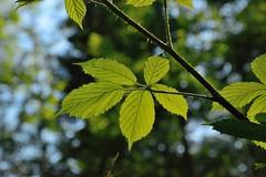 DSC_2998 (Bruno ArtPhoto) Tags: arbre feuille