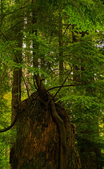 Trees Of Stanley Park (DCZwick) Tags: tree conifer forest woods pentaxk3 da1685 stanleypark vancouver britishcolumbia bc canada pentaxart