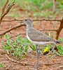Senegal Lapwing (Vanellus lugubris) (berniedup) Tags: lowersabie kruger senegallapwing vanelluslugubris lapwing taxonomy:binomial=vanelluslugubris