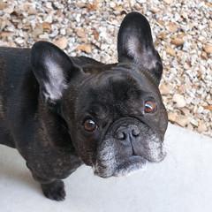 02-13-17 (2668) Good Morning! (Lainey1) Tags: 021317 2668 2668oz 365 theeighthyear oz ozzy dog frenchie bulldog lainey1 elainedudzinski frogdog zendog frenchbulldog ozzythefrenchie leica leicadlux4 dlux4
