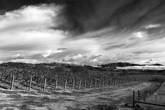 Vineyards (Bill Hornstein) Tags: sanynezvalley california bw blackwhite wine vineyard clouds fall moody gainey vineyards winery