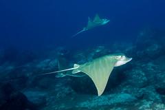 Duckbill rays #2 (Størker) Tags: dykking fisk friluftnatur natur reiser undervannsbilder undervannsnatur tenerife canaryislands spain esp