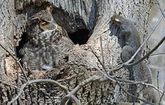 Say whaaaaaaaaaat? (av8s) Tags: greathornedowl owl birds wildlife nature photography nikon d7100 sigma 120400mm ephrata pennsylvania pa