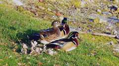 Wood Ducks (Jim Mullhaupt) Tags: woodduck duck bird water pond lake swamp wildlife nature landscape background wallpaper outdoor bradenton florida nikon coolpix p900 jimmullhaupt photo flickr geographic picture pictures camera snapshot photography nikoncoolpixp900 nikonp900 coolpixp900 evening sunset lateafternoon