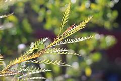 Reaching for Spring-like weather... (MomOfJasAndTam) Tags: greenery green plant plants reaching leaf leaves sandiego tree bokeh