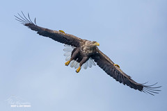 Sea Eagle - The Spot (macdad1948) Tags: scotland skye raasay portree isleofskye highlands coast eagles sea