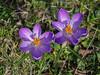 Spring time - two purple flowers (Ciddi Biri) Tags: flower spring nature purpleflowers grass omdem10 40150r m43turkiye çiçek morçiçekler bahar purplecrocussaffron saffron crocussaffron