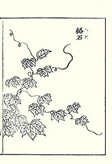 Japanese creeper (Japanese Flower and Bird Art) Tags: flower creeper parthenocissus tricuspidata vitaceae shotaro asami nihonga woodblock picture book japan japanese art readercollection