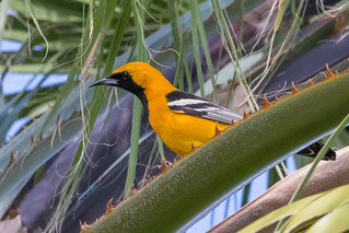 Hooded Oriole 7D678806